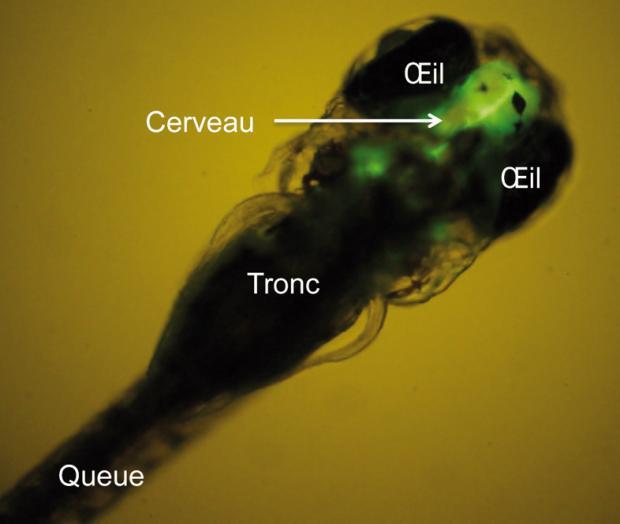 Un poisson fluo pour donner l alerte espace des sciences for Donner poisson